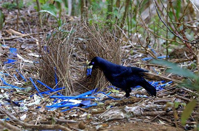 A male Bowerbird decorates his nest with sexy blue trash