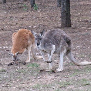 kangaroo-grey-and-red