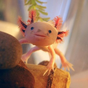 axolotl-3-best