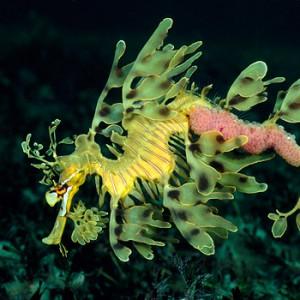 seahorse-pregnant-male