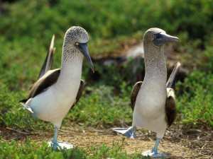 blue-footed-booby-two-300x225.jpg