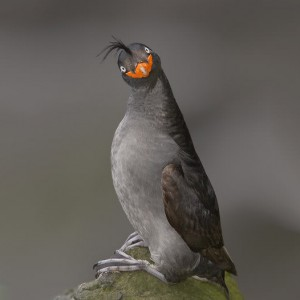 smiling-crested-auklet