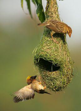 Huge Nest Dusky S Wonders