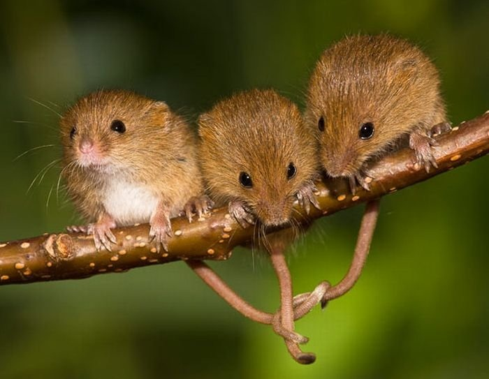 Mice Acrobats | Dusky's Wonders