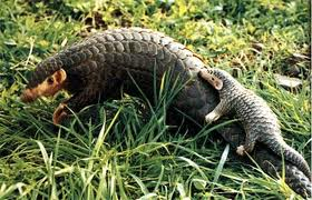 http://www.duskyswondersite.com/wp-content/uploads/2011/01/Pangolin-with-baby-on-tail.jpg Pangolin Tail
