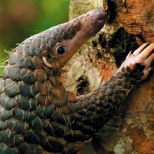 pangolin-better-close-up