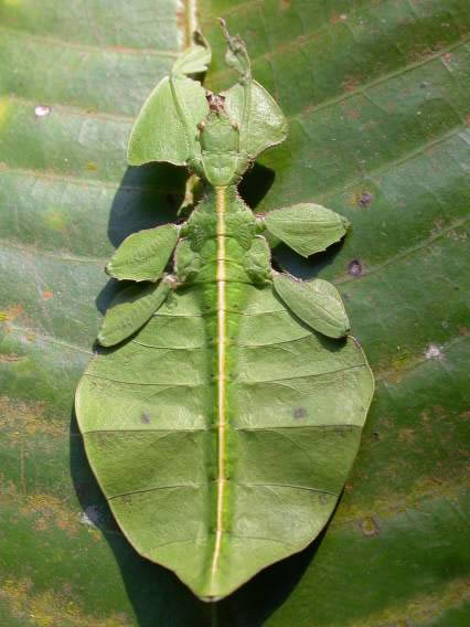 leaf insect camouflage - photo #1
