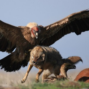 cool-condor-defending-best-from-fox