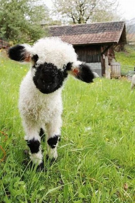 Is This Guy Too Cute To Be Baby Lamb Jumping