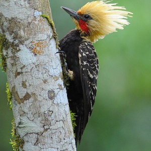 birds-Blond-crested-Woodpecker