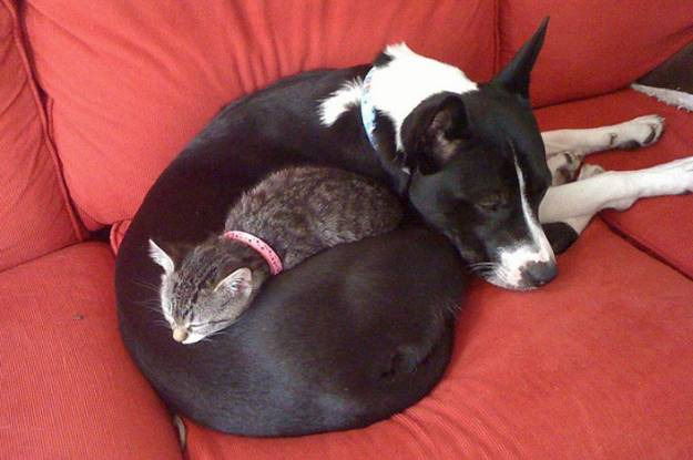 mixed species, cat and dog, c.e.