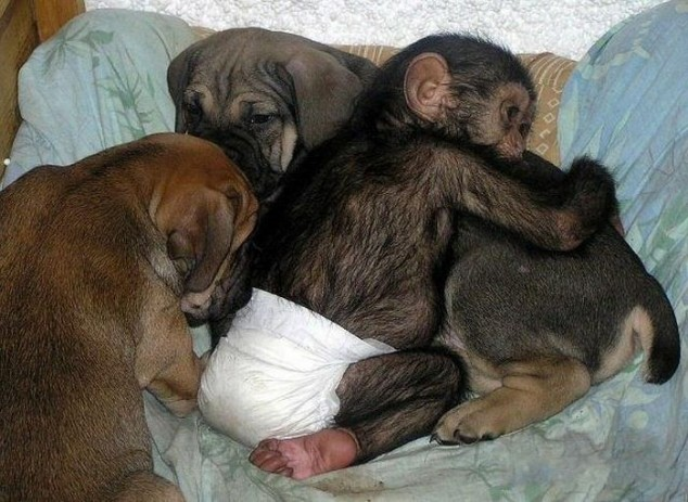 mixed species, dog and chimp 2