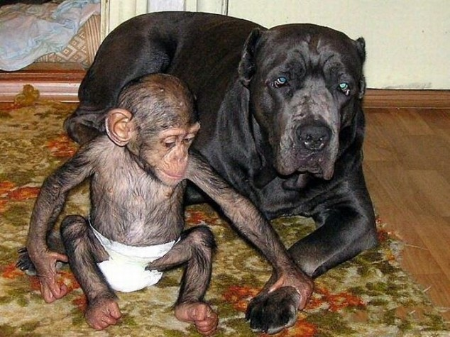 mixed species, dog and chimp 4