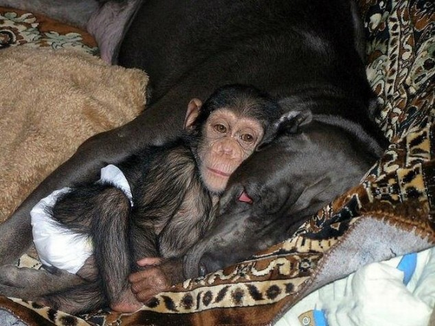 mixed species, dog and chimp