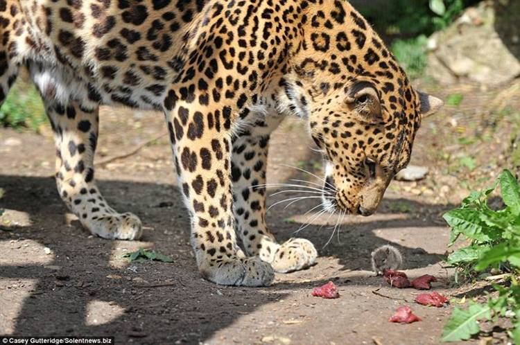 mixed species, leopard and mouse, micky