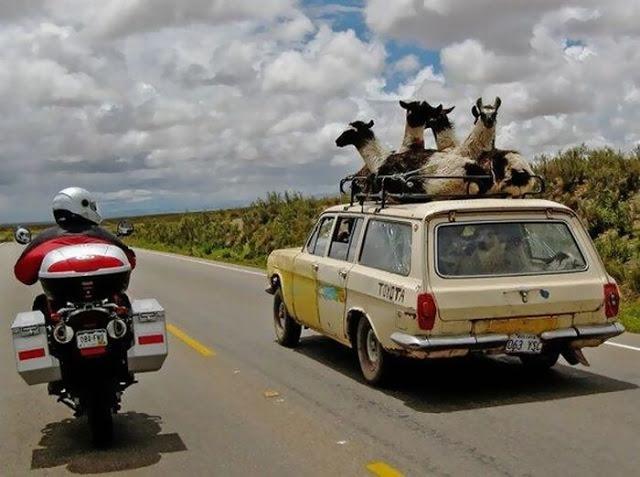 mixed species, llamas and car