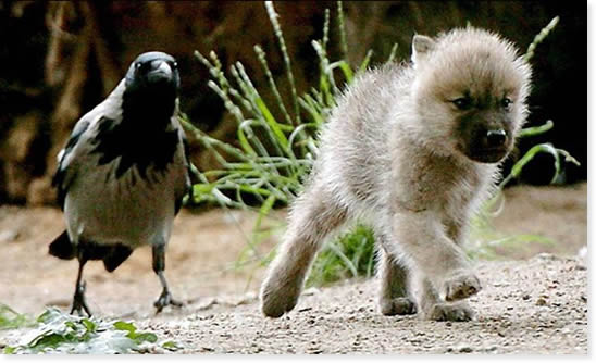 mixed species, wolf and bird, kathleen