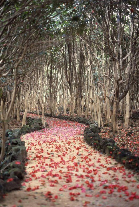  Fallen camellias, Hagi, Japan