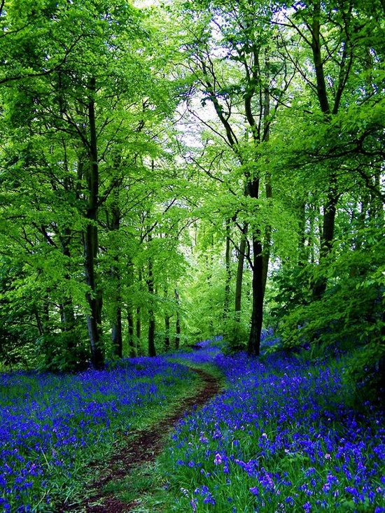 Bluebell path, scotland