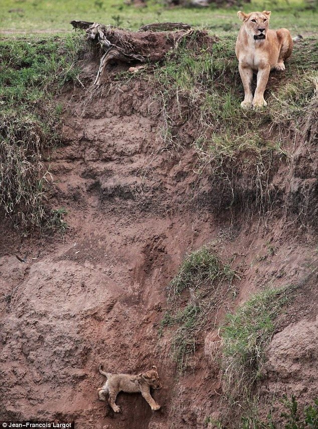 His Clinging on for dear life to the side of a vertical cliff, the tiny lion cub cries out pitifully for help. mother arrives at the edge of the precipice with three other lionesses and a male.