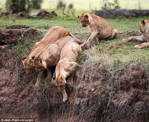 Three lionesses arrive and one male. The females start to clamber down together but turn back daunted by the sheer drop. Eventually one single factor determines which of them will risk her life to save the youngster – motherly love.