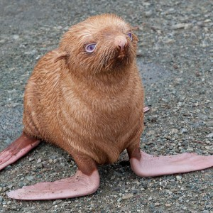 animal-orange-seal-ostracized-for-being-ginger-is-almost-blind.-but-got-adopted-by-a-zoo-in-Russia
