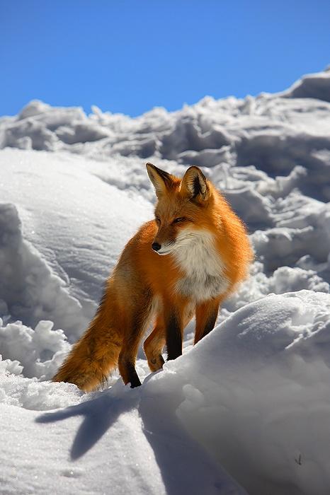 Red fox from Keystone, Colorado