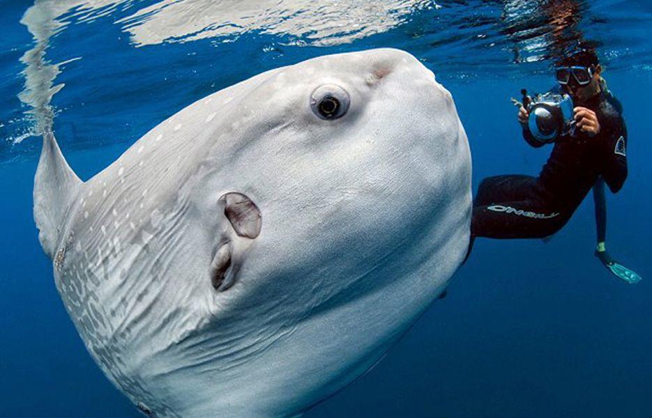 A mola mola by photojournalist Daniel Botelho
