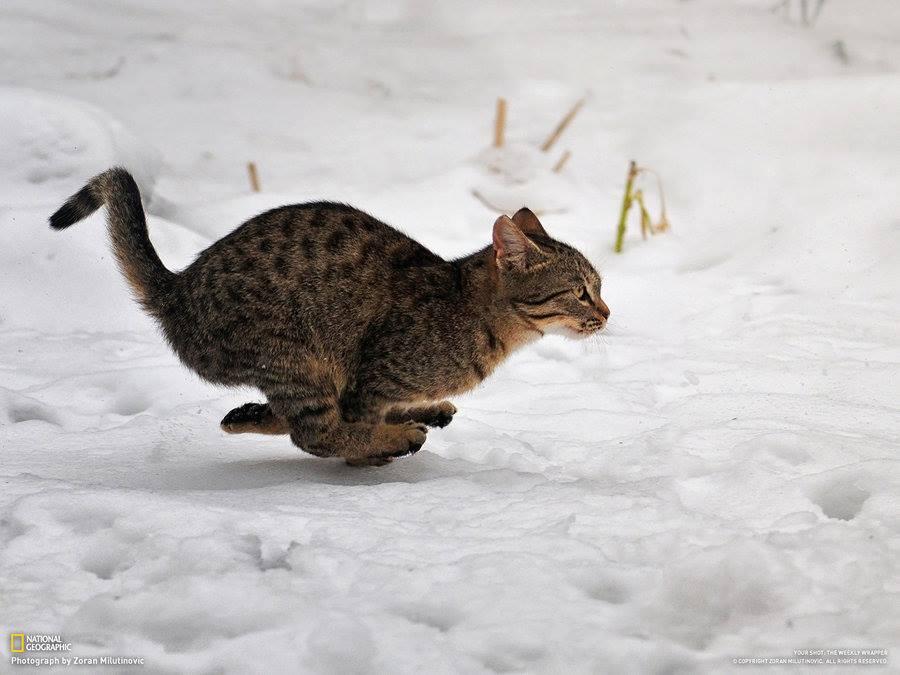 animals, cat in snow