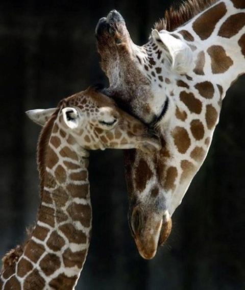 animals, giraffes