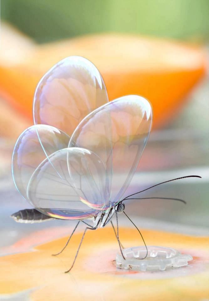 Glass-winged bug