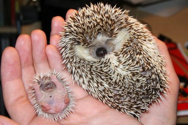 animals, hedgehog mom and babe, kathleen
