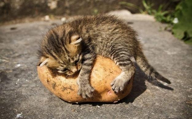 animals, kitten and potatoe