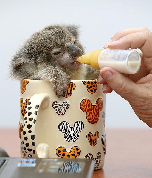 animals, koala, tiny