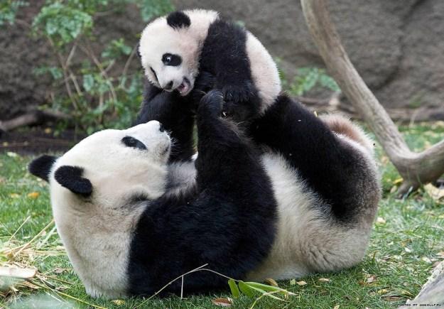 animals, pandas