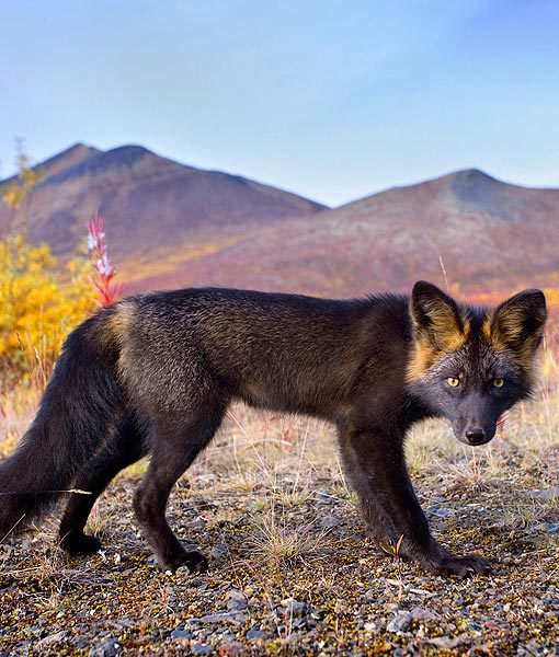 Silver fox by Steffen and Alexandra Sailer