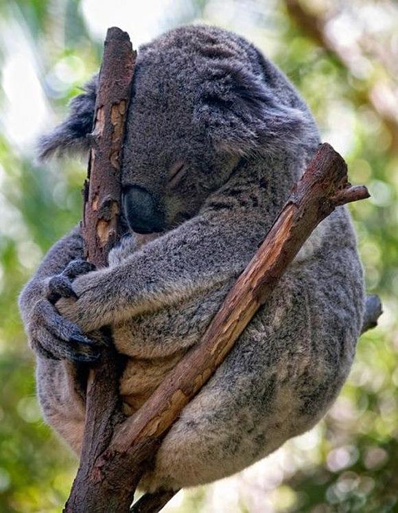 animals, sleep koala