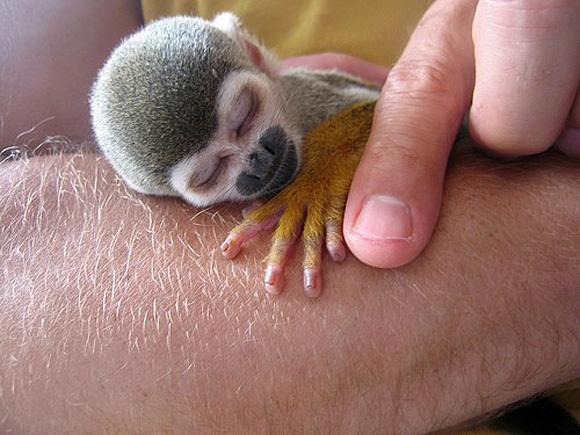 animals, sleeping monkey