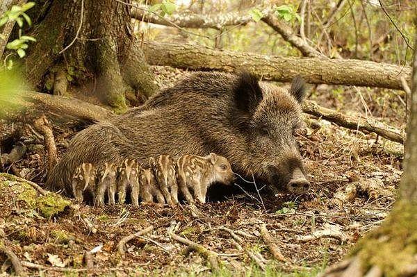 animals, wild pig and babes