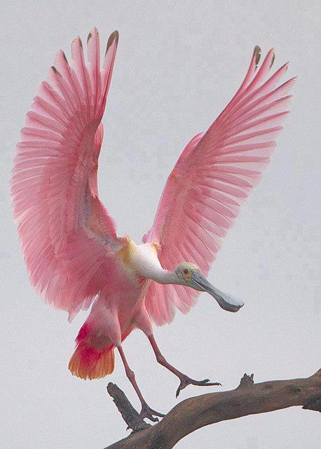 bird, pink