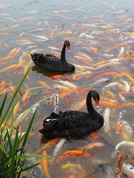 birds, black swans and fish