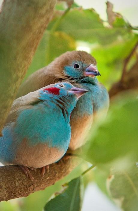 birds, blue, 2