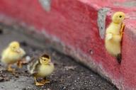 birds, duck