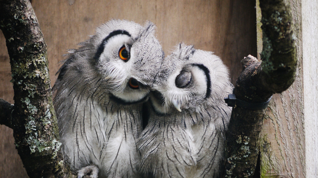 birds, owls cuddle
