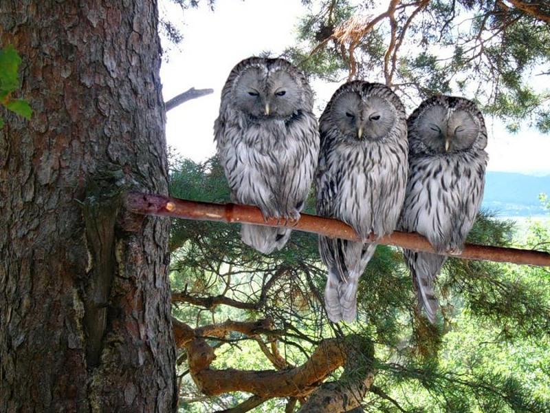 birds, 3 owls