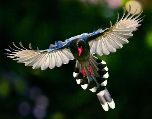 birds, Formosan Magpie, patty s.