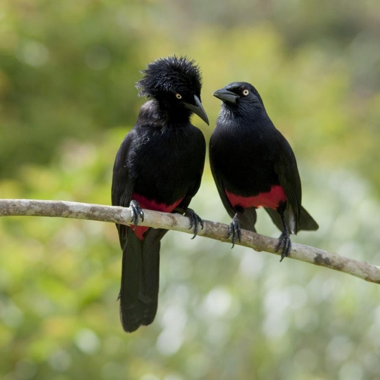 Mr. and Mrs.Red-bellied Grackle