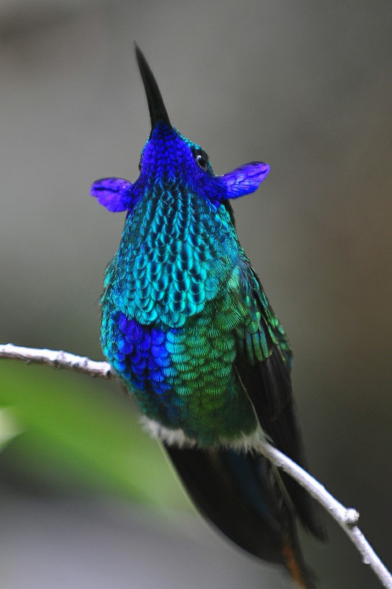 Violet-Ear Hummingbird....Hummingbirds have ears?