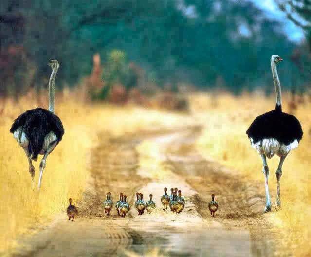 birds, ostrich