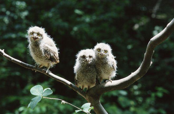 birds, owls (2)